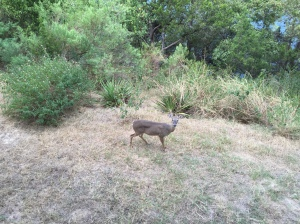 Picture of a doe in Texas